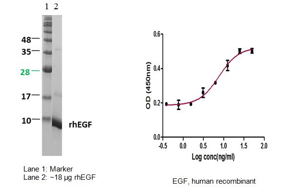 Epidermal Growth Factor (EGF), human recombinant